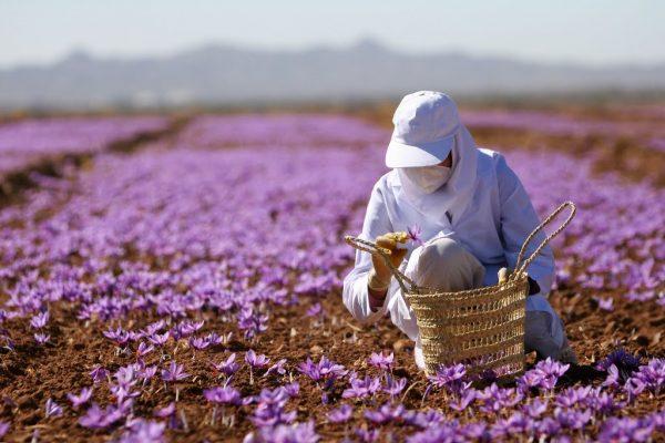 فصل برداشت گل های زعفران، فصل جدیدی ازهمراهی ما و شماست